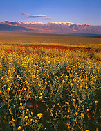 CADDV_040 - USA, California, Death Valley National Park, Desert sunflower  blooms alongside colorful volcanic rock at sunrise while the Panamint Range rises in the distance.