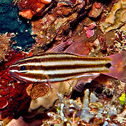 Striped Cardinalfish inhabit caves and crevices in reefs. Picture taken Ambon, Indonesia.