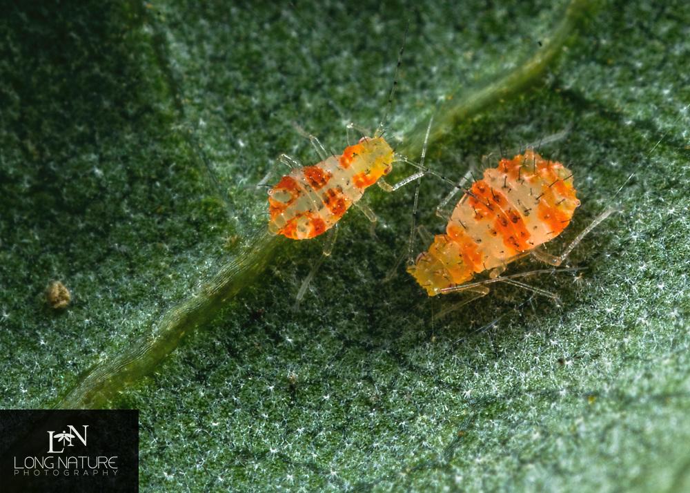 Myzocallis Sp. - Oak aphid.  Lady Lake Florida USA.  On live oak.