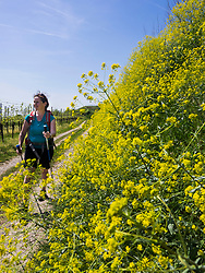 Woman hiking on footpath through vineyard terraces near Wasenweiler, Baden-Wuerttemberg, Germany