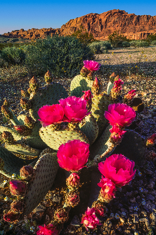Beavertail cactus, Valley of Fire State Park, Nevada, USA