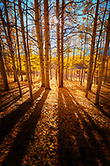 Late afternoon sun radiates through an aspen grove in the Cimarron Mountains casting long shadows across the forest floor.