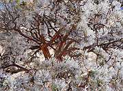 Frosted Ponderosa Pine, El Morro National Monument, New Mexico.
