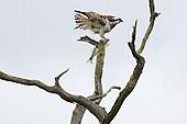 Osprey encounter