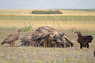 Eurasian Black - Aegypius monachus, Monk or Cinereous Vulture with Griffon Vultures - Gyps fulvus