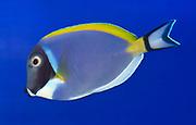 A Powder blue tang or Powder blue surgeon (Acanthurus leucosternon) swimming in an aquarium at the King's Lynn Koi Centre Norfolk