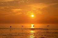 Pelicans Skim The Surface Of The Atlantic Ocean At Sunrise, Cape Hatteras, North Carolina, USA