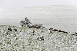 © Licensed to London News Pictures. 27/01/2019.  Llanfihangel-nant-Melan, Powys, Wales, UK.  Snow falls overnight in Powys, Wales, UK. credit: Graham M. Lawrence/LNP