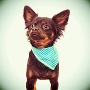 Darling mixed breed dog waits for home at the Sacramento city animal shelter.