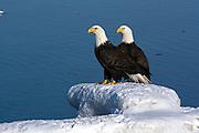 Bald Eagle, Haliaeetus leucocephalus, on snow field, Kenai Peninsula, Homer Spit, Homer, Alaska. Digital original, #2006_0757 ©Robin Brandt