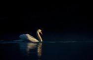 Mute Swan - Cygnus olor - adult