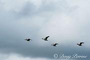 endemic Hawaiian geese or nene, Branta sandvicensis, the Hawaiian state bird, flying, Princeville, Hawaii ( Central Pacific Ocean )