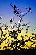 Birds perched on a tree, silhouetted at sunset Photographed at Sataf, Israel
