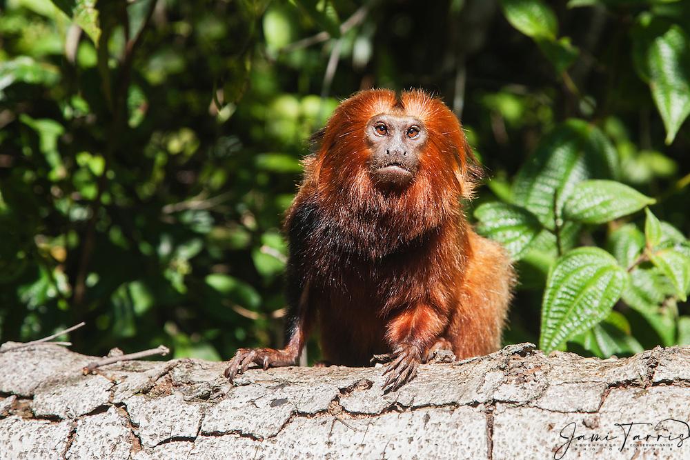 Portrait of an endangered golden lion tamarin (Leontopithecus rosalia) climbing a tree,Brasil, South America