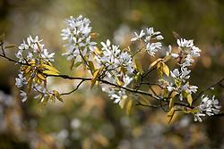 Amelanchier × grandiflora 'Forest Prince' - Serviceberry.