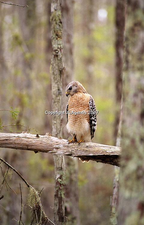 Red-shouldered Hawk. Corkscrew Sanctuary.  Everlades, FL 2007