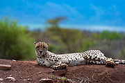 Cheetah (Acinonyx jubatus) from Zimanga Private Reserve, South Africa.