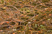 Water plant Miriophyllum sp. on the Proscansko lake water surface, Upper Lakes, Plitvice National Park, Croatia