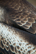 Feather detail, Female frigate bird, North Seymore Island, Galapagos, Ecuador, South America
