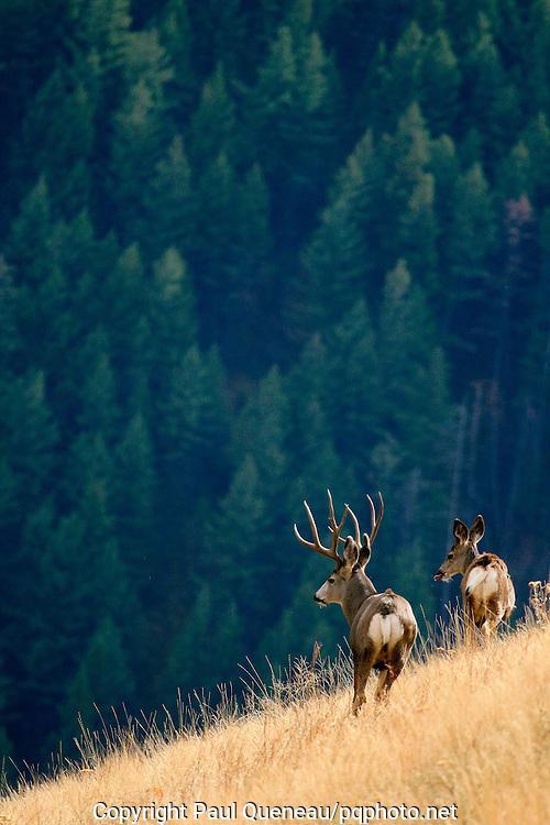 A mature Montana buck surveys a ravine bottom.