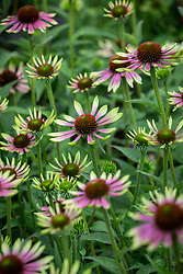 Echinacea purpurea 'Green Envy'. Coneflower.