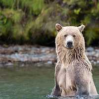 Sow grizzly bear standing in the Chilko River, British Columbia looking for sockeye salmon.