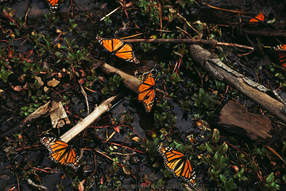 Monarch butterflies in a woodland stream on the butterfly reserve near site alpha, Rosario, Mexico.