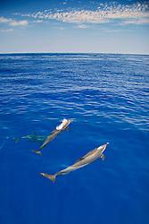 Pantropical Spotted Dolphin spouting, Stenella attenuata, off Kona Coast, Big Island, Hawaii, Pacific Ocean.