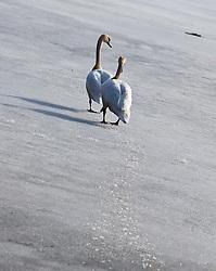 12.03.2011, Zeller See, Zell am See, AUT, Schwäne am Zeller See, im Bild zwei Schwäne watscheln auf den zugefrorenen Zeller See zum zu nächsten offenen Wasserstelle, Themenbild // two swans waddle to the lake is frozen next to the open water, Feature, EXPA Pictures © 2011, PhotoCredit: EXPA/ J. Feichter