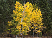 A grove of Aspen trees begin truning yellow late in Autumn at Black Butte Ranch in Central Oregon