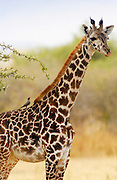 Giraffe, Grumeti, Tanzania