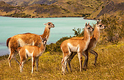 Guanaco (Lama guanicoe) adult with young,Parque Nacional Torres del Paine, Patagonia, Chile