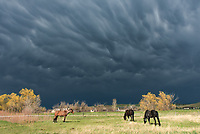 The last Sunday of April brought the first thunderstorm of the year. After getting hailed on while hiking, I found a place to shoot the storm near Big Horn. These 3 horses seemed unfazed by the threatening sky and mammatus clouds above them.