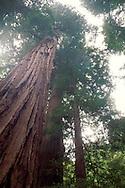 looking up at tall giant redwood tree bark Muir Woods National Monument Marin San Francisco Bay Area California Looking up at large coastal redwood tree in forest, Muir Woods National Monument, Marin County, California