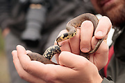 Grass snake handled on reptile survey with ARC. Surrey and Berkshire, UK.