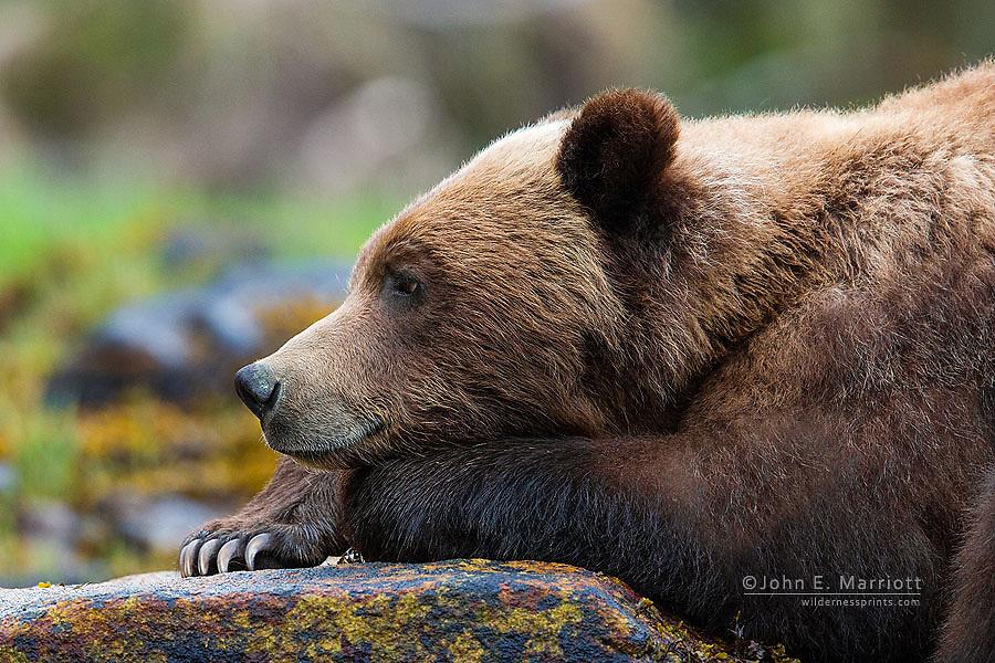 Grizzly bear, Khutzeymateen Grizzly Bear Sanctuary, BC