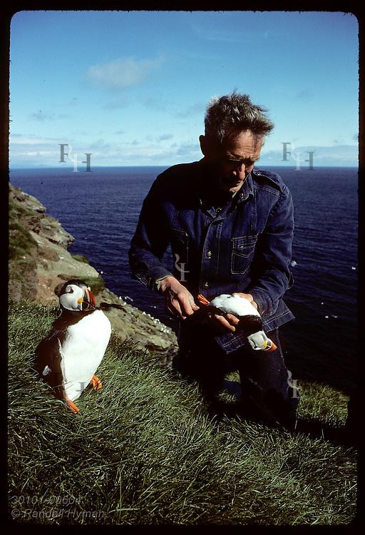 Hlodver Johnsen poses dead puffins on steel rods on hill as hunt decoys; Bjarnarey/Westmann Islnd Iceland