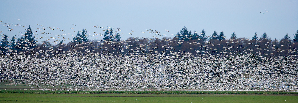 Snow Goose (Chen caerulescens)  at Fir Island, Skagit River delta, Puget Sound, Washington, USA