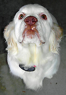 A Clumber Spaniel's stare.