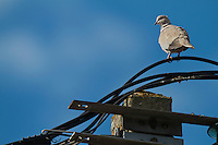 Eurasian collared-cove (Streptopelia decaocto) on telephone cables in Pont-du-Chateau, Auvergne, France.
