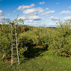 A ladder leans against an apple tree at Green Mountain Orchards in Putney, Vermont.  Connecticut River Valley.