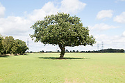 Single lone oak tree standing in field in high noon summer sunshine, Snape, Suffolk, England, UK
