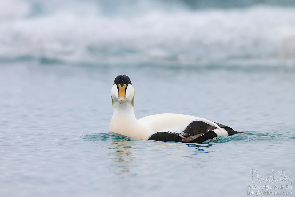 A male common eider (Somateria mollissima) swims past icebergs floating in Jökulsárlón, the glacier lagoon in Iceland.