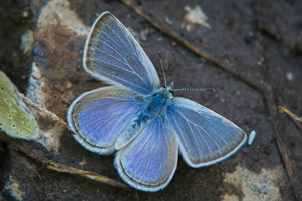 Close-up view of a Boisduval's blue (Icaricia icarioides), a small member of the gossamer-wing butterfly family collecting moisture from the edge of a creek in Kittitas County, Washington.