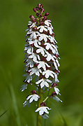 Lady Orchid, Orchis purpurea, Wye Downs National Nature Reserve, UK, flowering, chalk grassland, flower spoike, summer, pink