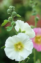 Hollyhock<br /> Alcea ficifolia 'Happy Lights'