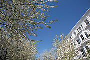 White cherry blossom on trees in April on a wealthy residential street in West London, UK. Due to sunny days and cold nights, the season for the flowering trees has been extended longer than is usual.