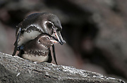Pair of Galapagos Penguins (Spheniscus mendiculus) mating on the island of Santiago