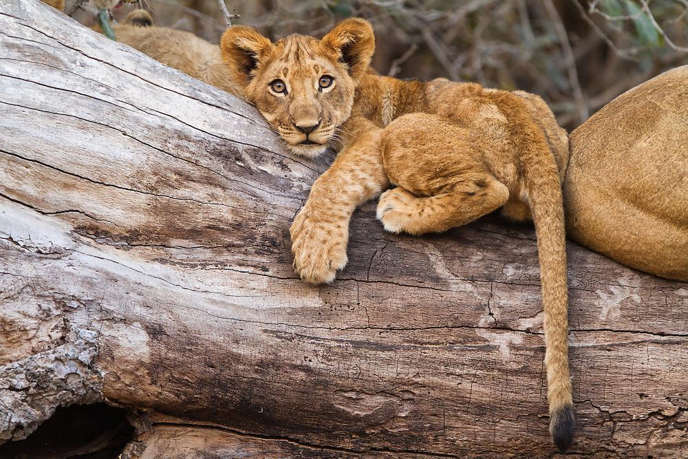 Lion cub on a log.  Mana Pools, Zimbabwe