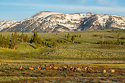 Herd of elk during the summer in Yellowstone National Park